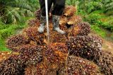 Organisations Seek Stronger Labour Protections in Palm Oil Industry