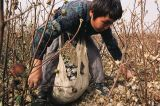 The Bitter Harvest of Uzbek Cotton: Reflections on the business role amidst a human rights tragedy