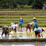 Workers in rice field